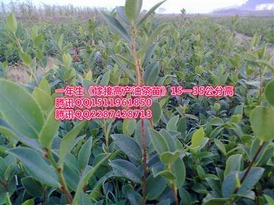 湖南油茶苗嫁接茶树良种繁育致富绿化苗圃