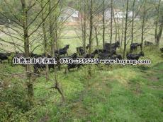 常德羊肉長沙羊肉批發湖南黑山羊原產基地新