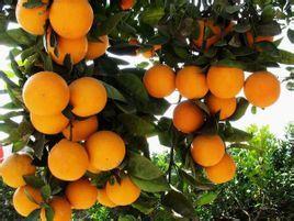 湖南永兴冰糖橙果园直供 永兴冰糖橙价格