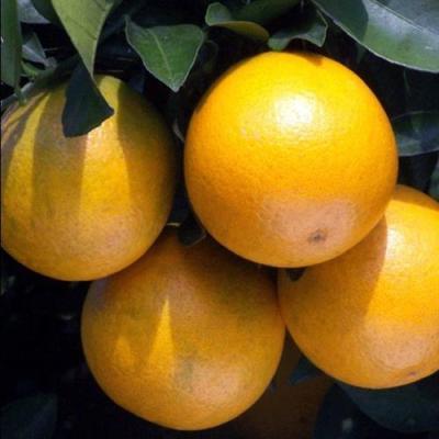 冰糖橙价格冰糖橙报价冰糖橙产地
