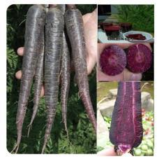 紫色胡萝卜种子 新型紫萝卜种子