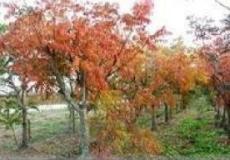 6公分黄栌树 8公分黄栌树