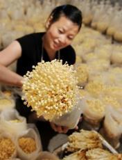 供应进口顶级金针菇