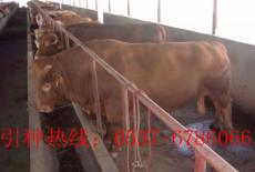 200-300斤利木贊牛牛犢價格-