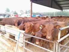 安徽馬鞍山哪里有賣利木贊牛牛犢的