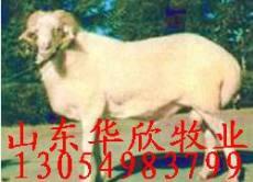 河南小尾寒羊养殖技术 小尾寒羊养殖效益分