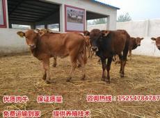 廣東肉牛養殖場-黃牛牛犢價格