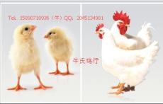駐馬店確山縣新安店鎮供應小雞賣雞苗青年雞