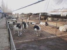 杜寒杂交羊小尾寒羊杜泊绵羊