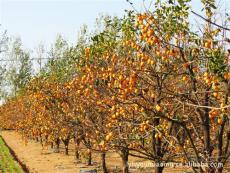 柿子树价格 柿子树基地 山东柿子树批发