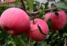 供應蘋果苗