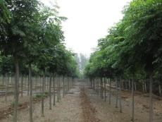 6公分栾树市场价格