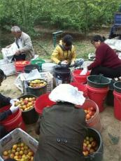 陜西豐園紅杏杏子產地批發價格