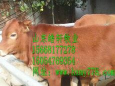 牛犊价格安徽夏洛莱牛牛犊价格