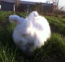 成年的長毛兔多少錢一只