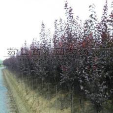 今年紫叶李小苗市场价格