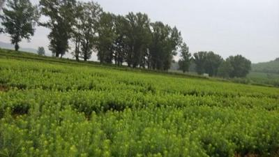 如何提高东北红豆杉授粉受精率