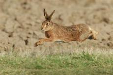 杂交野兔养殖 春天杂交野兔价格