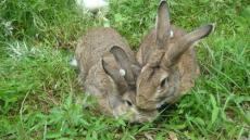 2015年杂交野兔 饲养杂交野兔 出售杂交野兔