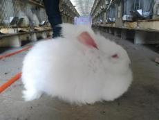 好养的长毛兔 生长快的长毛兔 农村养长毛兔