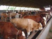 山西肉牛厂西门塔尔牛