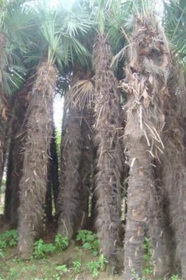 棕榈树价格