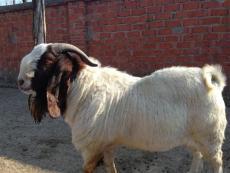 羊羔多少錢一只 羊羔一只多少錢 羊羔
