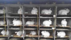長毛兔市場報價 養殖長毛兔條件 山東長毛兔