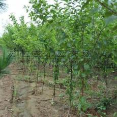 沭阳3公分榆叶梅销售价格