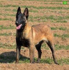 马犬苗比利时马犬价格低厂家免费发货