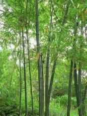 廠家供應龍頭竹提取物70%有機硅