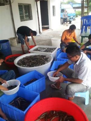 英杰泥鳅养殖诚招加盟商
