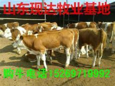 哪里卖肉牛犊