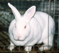 邯鄲成安養兔場邯鄲成安養獺兔場6-7個月齡