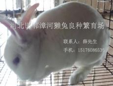 肥鄉獺兔養殖邯鄲肥鄉養兔場邯鄲肥鄉養獺兔