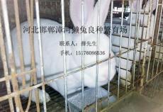 永年獺兔養殖邯鄲永年養兔場邯鄲永年養兔
