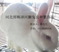 邱縣獺兔養殖邯鄲邱縣養兔場邯鄲邱縣養兔